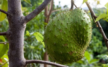 soursop fruit tree