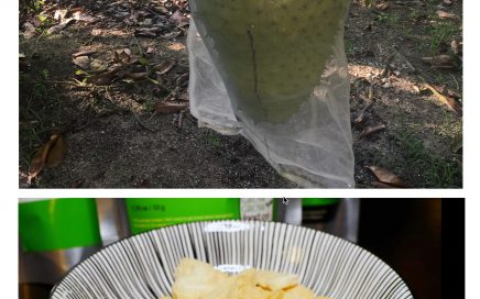 Fresh soursop (top)and Freeze Dried soursop (bottom)